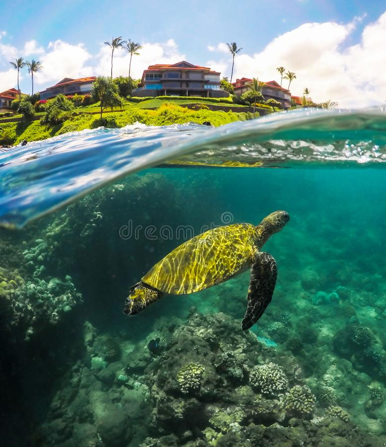 Split Shot of a Green Sea Turtle with Reef in Maui Hawaii royalty free stock photos