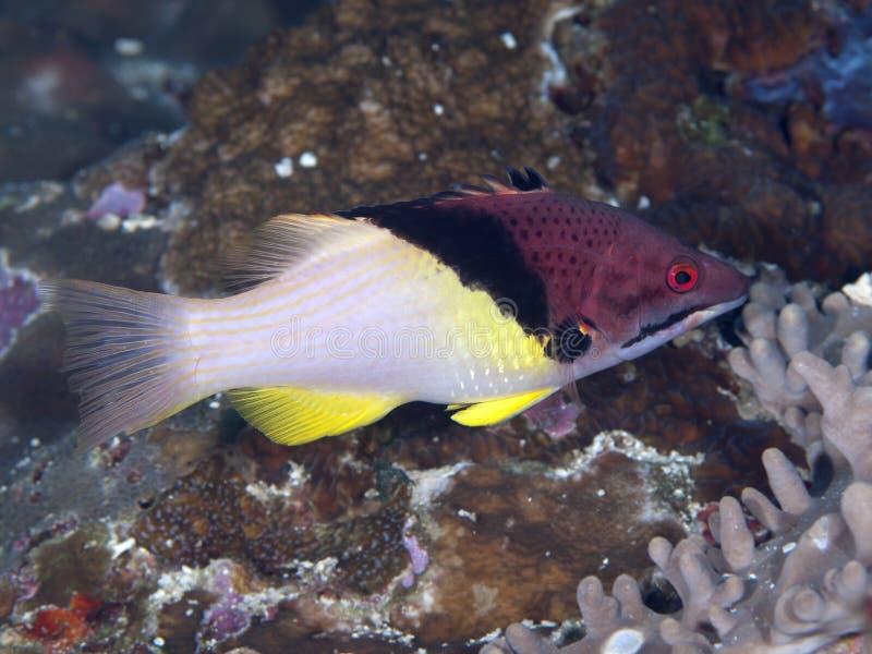 Splitlevel hogfish. In Bohol sea, Phlippines Islands stock images
