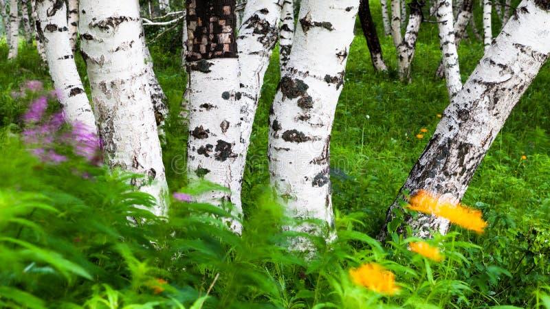 Splitterbirke in NEI mongolisch stockfotos