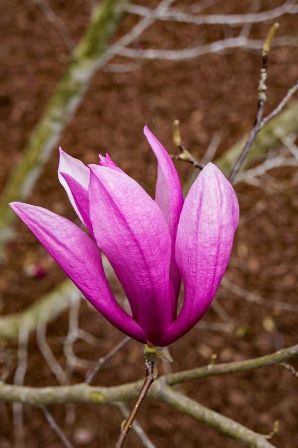 Spodeczek magnolia - Magnoliowy x soulangiana obrazy stock