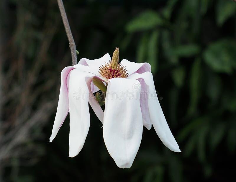 Spodeczek magnolia W kwiacie zdjęcie stock