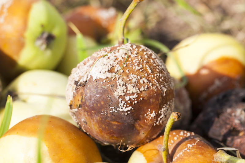 Spoiled apples, close-up. Stacked in a pile of spoiled, rotten apples at harvest time, summer royalty free stock photo