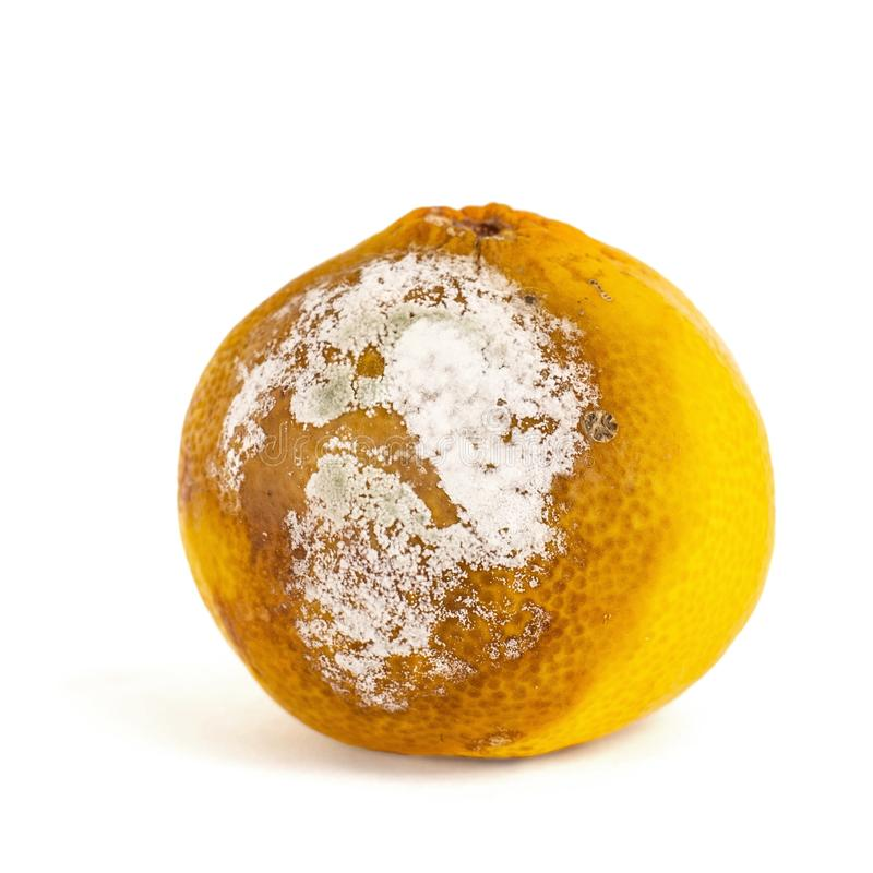 Spoiled mandarin with a mold on a white background. Citrus Fruit is rotten royalty free stock photos