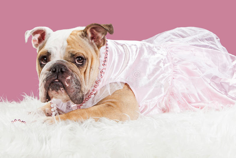 Beautiful Bulldog Canine Adorable Dog - spoiled-pretty-bulldog-pink-outfit-adorable-female-english-breed-dog-wearing-dress-laying-white-fur-blanket-60226165  HD_907121  .jpg