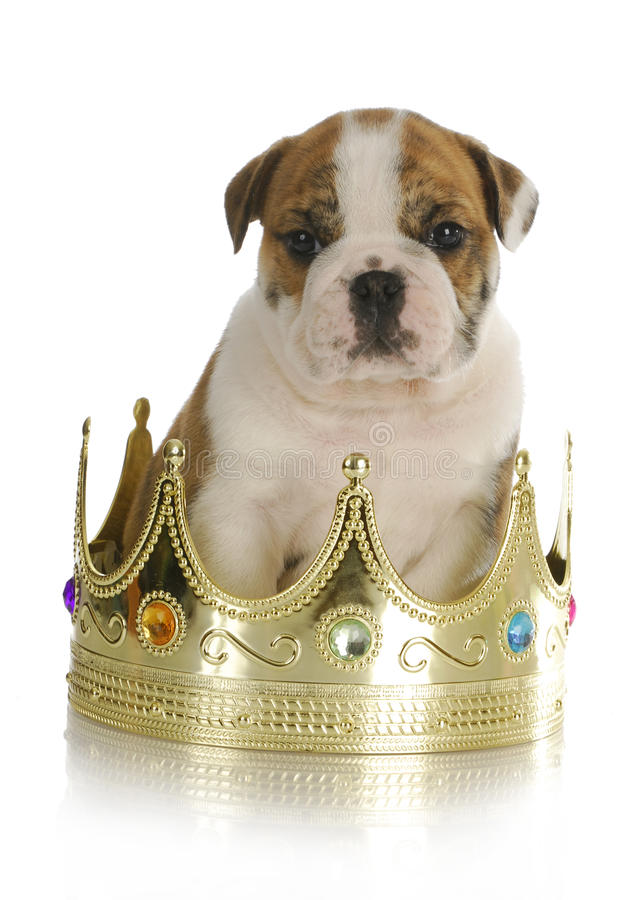 Free Spoiled Puppy Stock Photo - 22000660