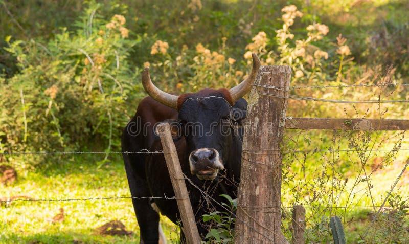 Spojrzenie krowa w Gateholder obrazy royalty free