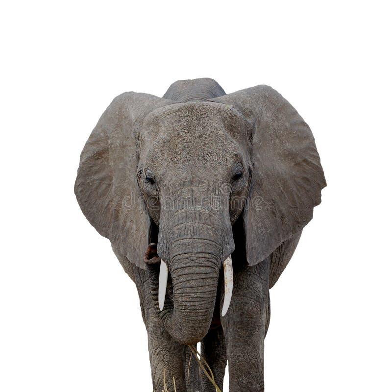 spojrzenie słonia obraz stock