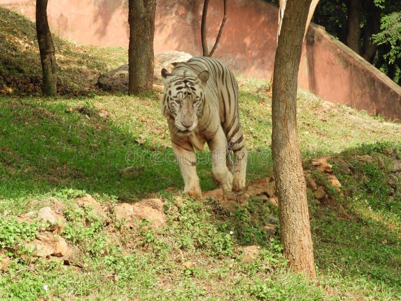 Spokojny biały tygrys zdjęcia royalty free