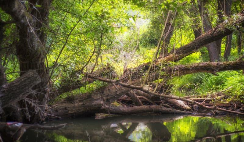 Spokojny lasowy strumień, śmiecący z bagażnikami spadać starzy drzewa zdjęcia stock
