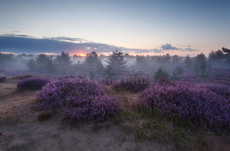 Spokojny mgłowy wschód słońca nad kwiatonośnym wrzosem fotografia royalty free