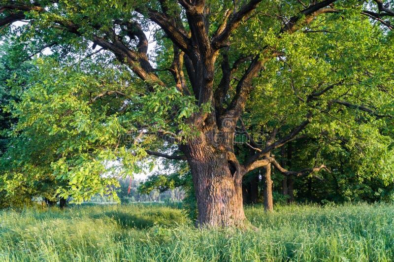 Spokojny piękno lato wieczór w zdewastowanej wsi Stary kilkuramienny dębowy drzewo z głębokim wydrążeniem w swój luksusowej koron zdjęcie stock