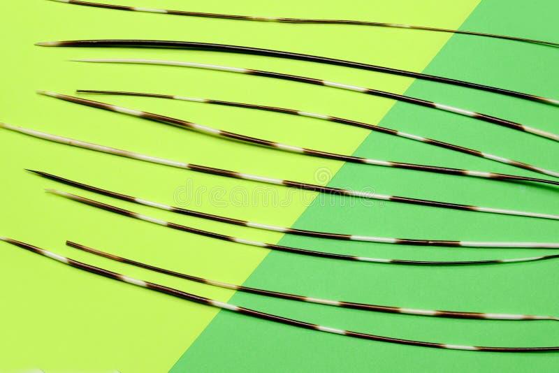 Spolette o spine dorsali degli istrici su fondo verde chiaro fotografia stock