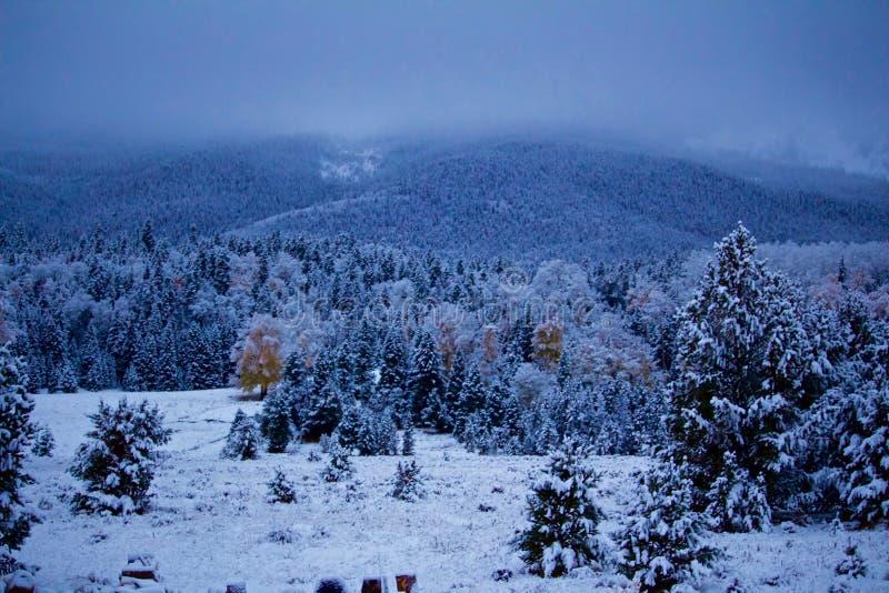 Spolverata della neve sui pini e sulle tremule della stagione immagini stock libere da diritti