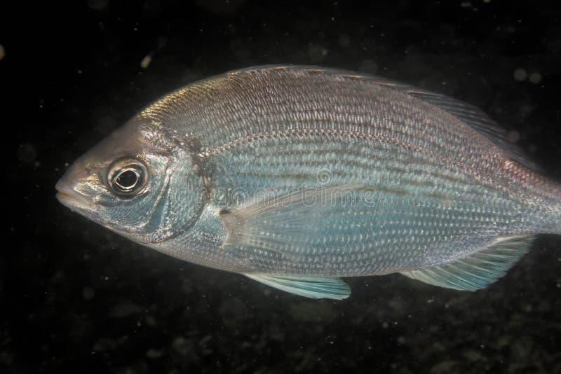 Spondyliosoma cantharus - Black sea bream stock photo