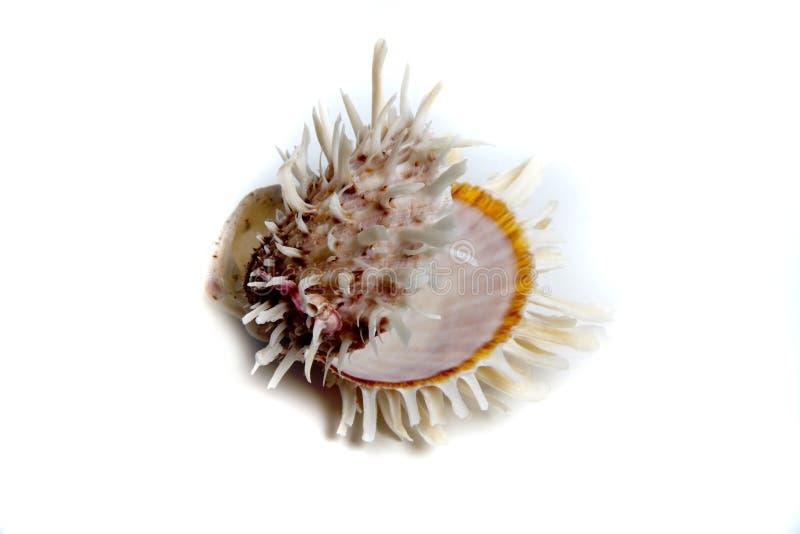 spondylusbarbatus royaltyfri foto
