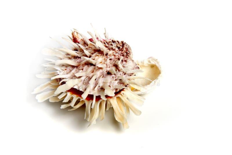 spondylusbarbatus arkivfoto