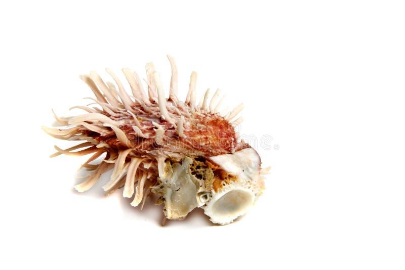 spondylusbarbatus arkivbilder