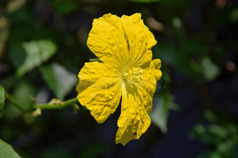 Sponge Gourd Flower or Luffa Cylindrica Flower in Garden royalty free stock photography