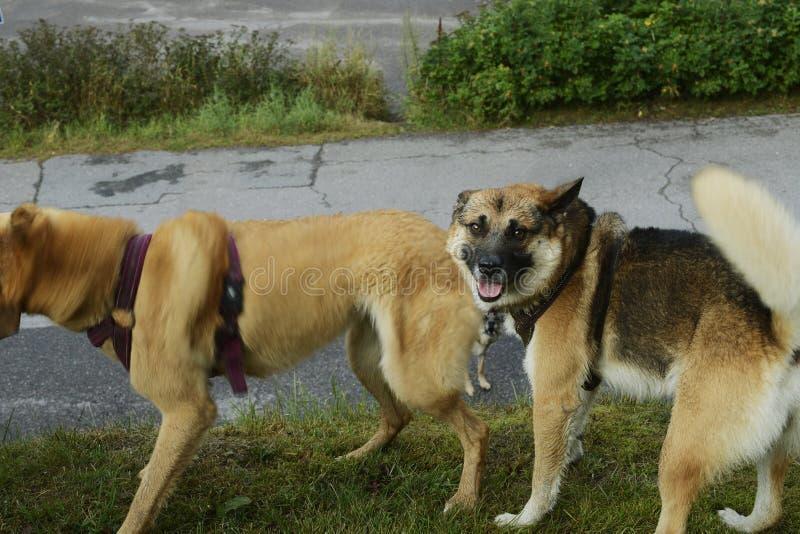 Spontanes Foto von drei Mongrel-Hunden stockbilder