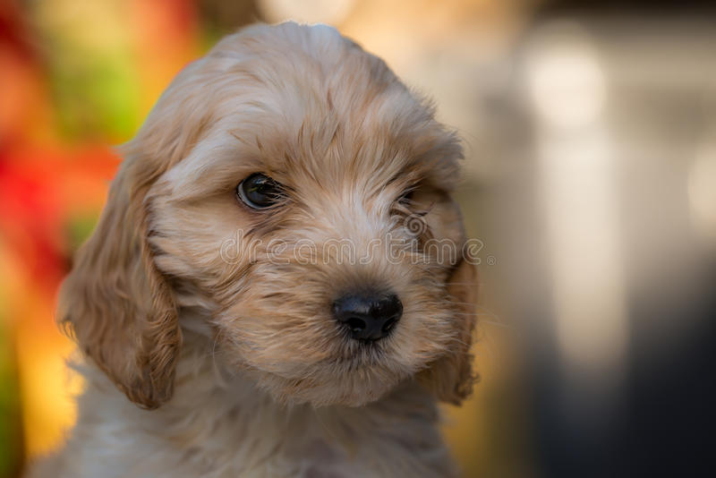 Spoodle or Cockapoo puppy royalty free stock photography