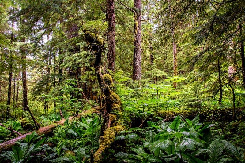 Spook in het Bos van Alaska stock afbeelding