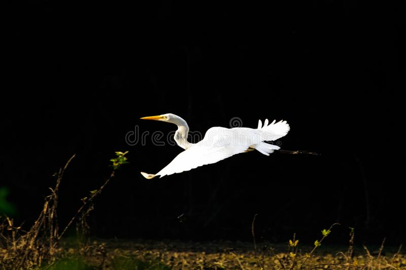 Spooked. Along came a photographer that spooked a White Heron that was sitting on a branch looking for food in the flood waters of Bald Knob Wildlife Refuge royalty free stock image