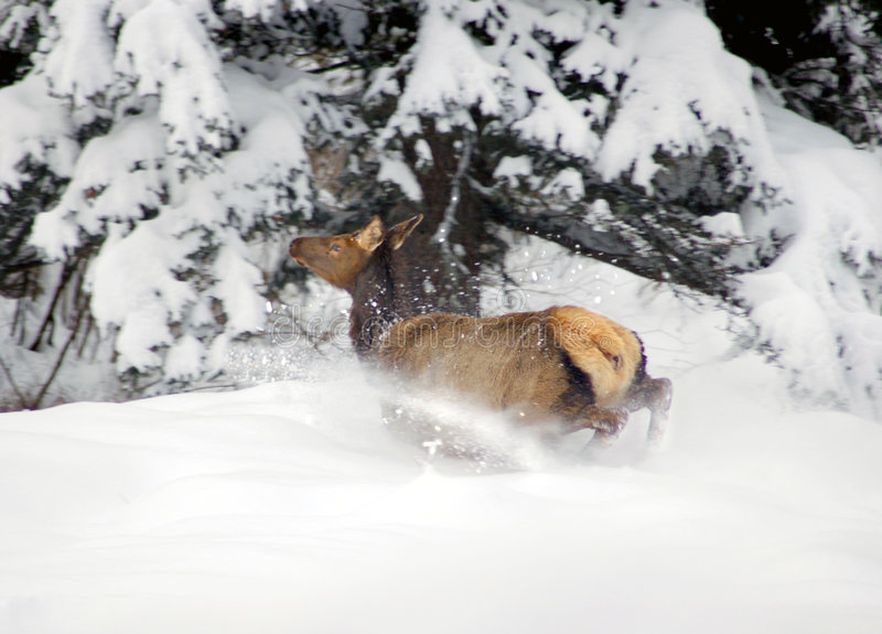 Spooked elk in snow. This is a cow elk in the mountains after a heavy snow stock images