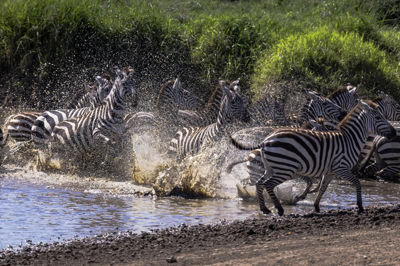 Spooked zebras run out of water. At a watering hole with water droplets going everywhere royalty free stock photos
