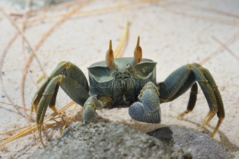 Spookkrab Platte Eiland seychellen stock afbeelding