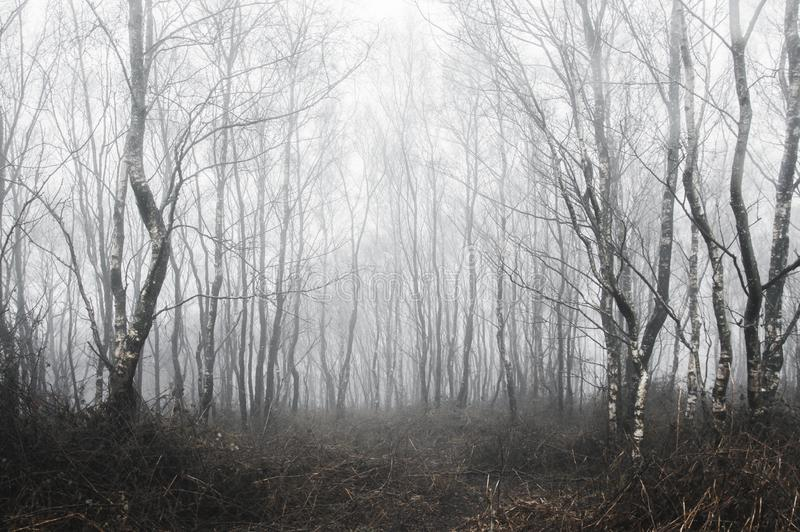 A spooky forest of birch trees on a foggy winters day. With a cold, muted edit. royalty free stock photo