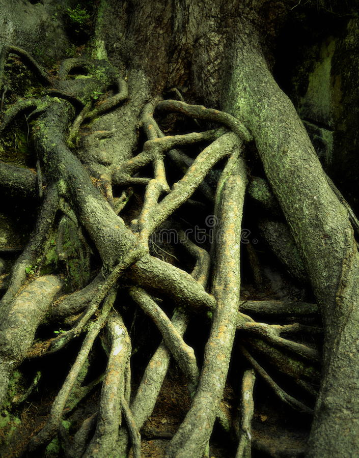 Spooky roots. Background spooky tree roots intertwined one another royalty free stock photos