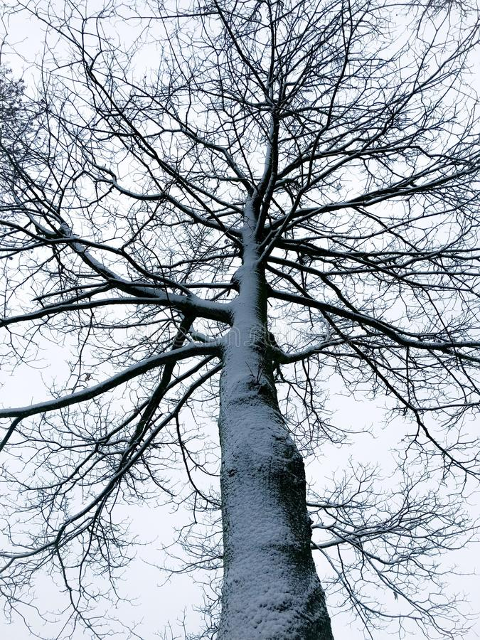 Spooky tree covered with snow in winter. A tall leafless tree from frog's perspective covered with snow on branches and the stem stock images