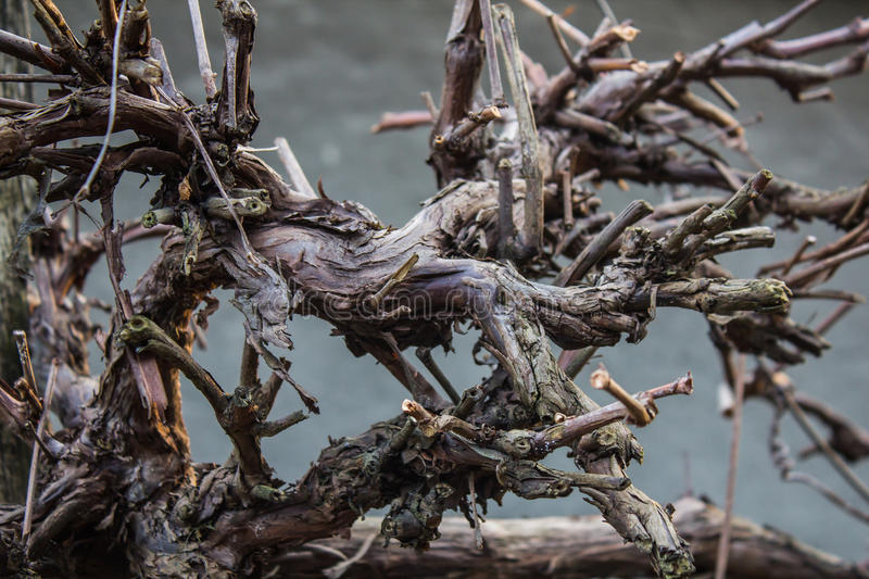 Spooky winding bumpy old wine tree branch. On a grey background stock photography