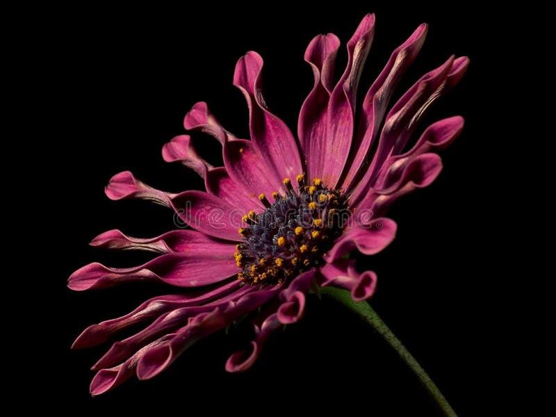 Spoon daisy stock photography