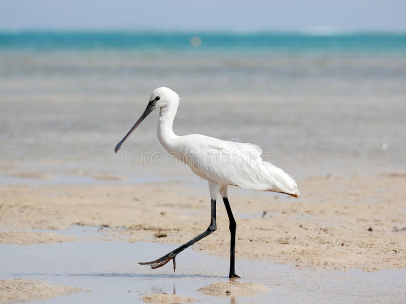 Download Spoonbill Royalty Free Stock Photography - Image: 28483067