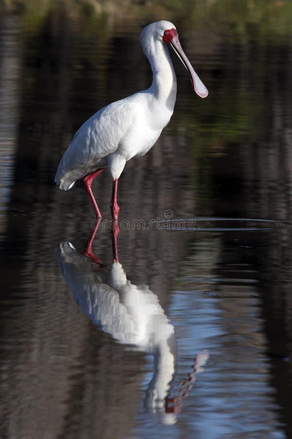 Spoonbill africano - Botswana imagens de stock