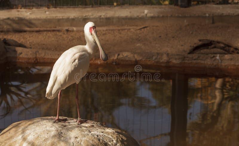 Spoonbill africano, Platalea alba foto de stock royalty free