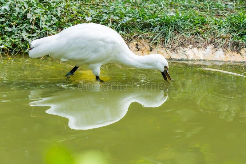 Spoonbill biały ptasi platalea patrzeje dla jedzenia zdjęcie stock