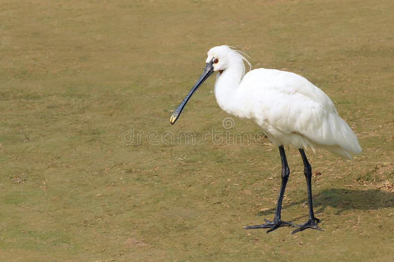 Spoonbill Black-faced fotografia de stock