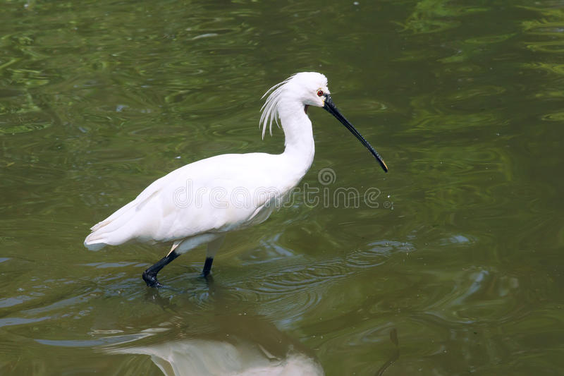 Download Spoonbill Black-faced imagen de archivo. Imagen de animales - 41921561