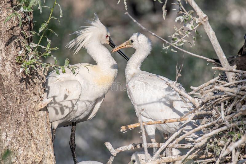 Spoonbill comum - leucorodia do Platalea Animal selvagem da vida imagem de stock royalty free