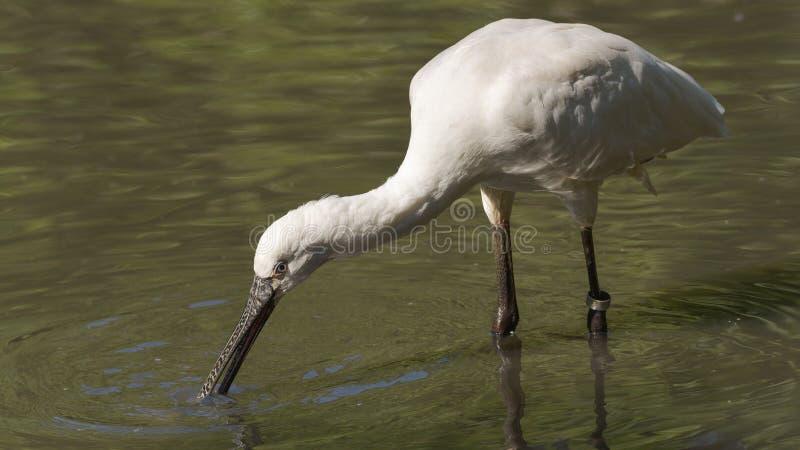 Spoonbill, der nach Nahrung im Wasser sucht lizenzfreies stockbild