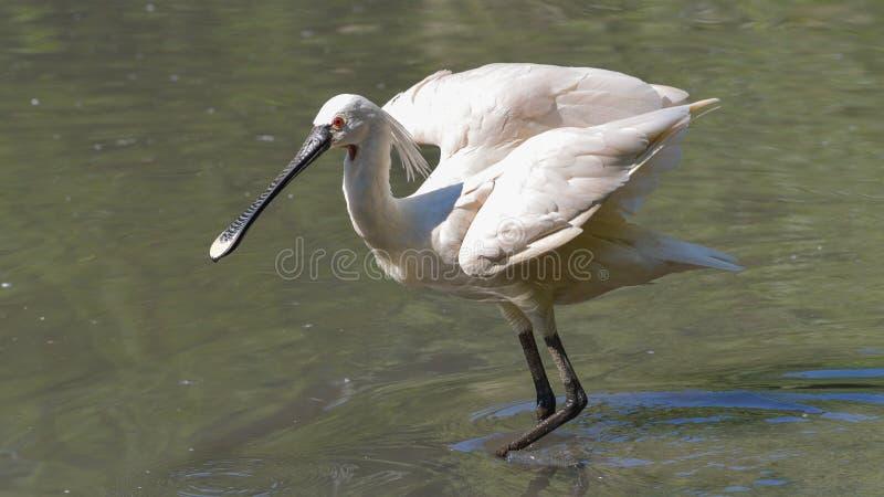 Spoonbill, der seine Flügel im Wasser öffnet lizenzfreie stockfotografie