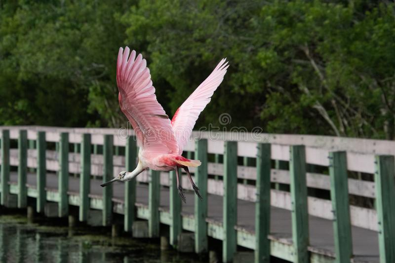 Spoonbill in flight at Nature Preserve royalty free stock photo
