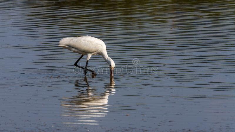 Spoonbill ptasi patrzeć dla jedzenia zdjęcie royalty free