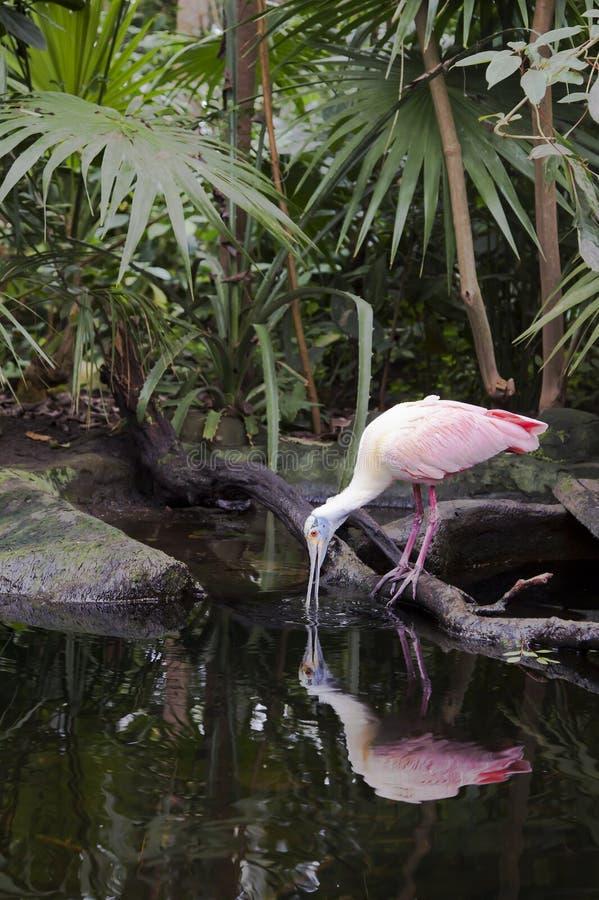 Spoonbill róseo fotos de stock