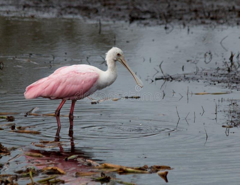 Spoonbill róseo foto de stock
