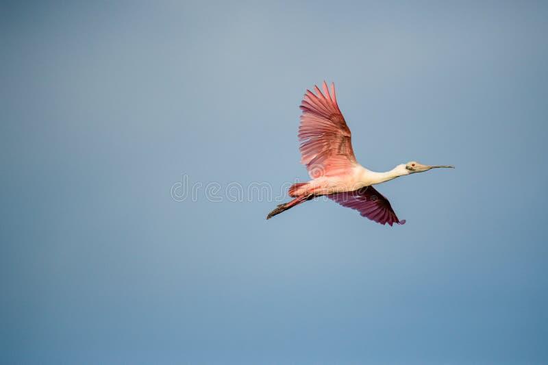 Spoonbill róseo adulto (ajaja do Platalea) em voo contra o céu azul foto de stock royalty free