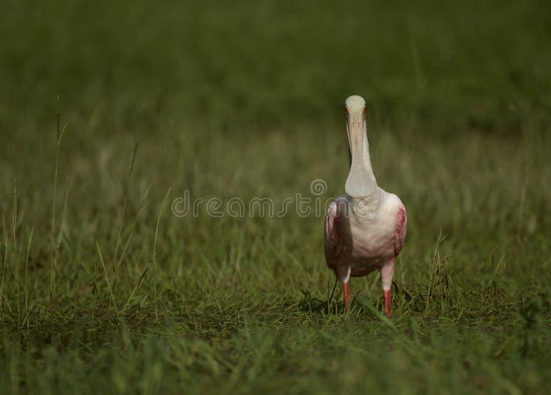 Spoonbill róseo em Tampa, Florida foto de stock