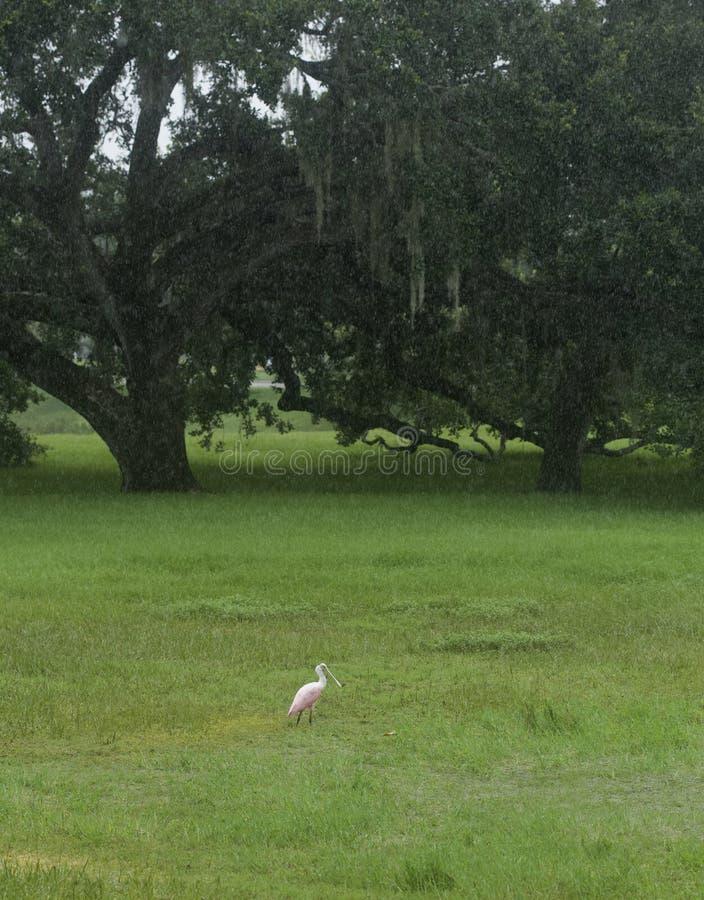Spoonbill róseo em Tampa, Florida foto de stock royalty free